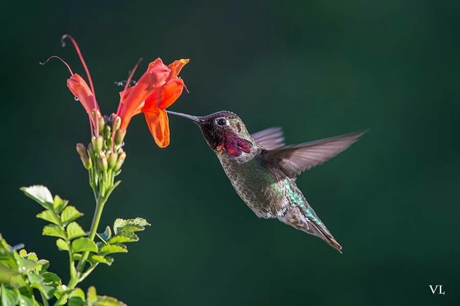 Gorgeous Jewel! Male Anna's hummingbird.