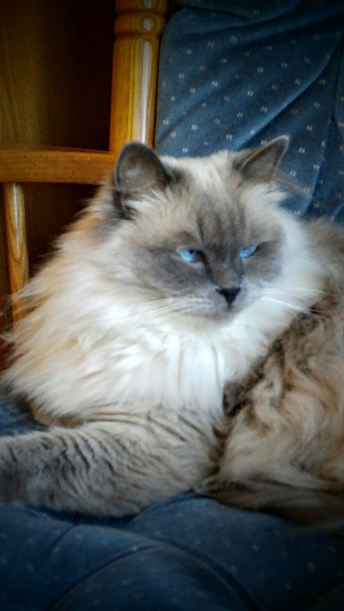 Gracie Blue Point Mitted Ragdoll Owned By Janelle Mckain Kittens Cutest Beautiful Cats Crazy Cats