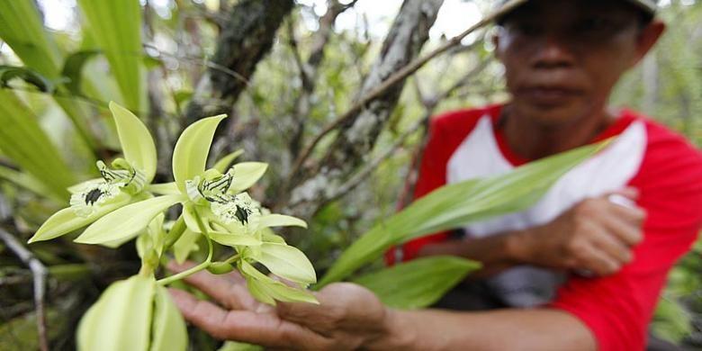 Anggrek Hitam Di Cagar Alam Kersik Luway Kabupaten Kutai Barat Kalimantan Timur Kalimantan Hutan Anggrek