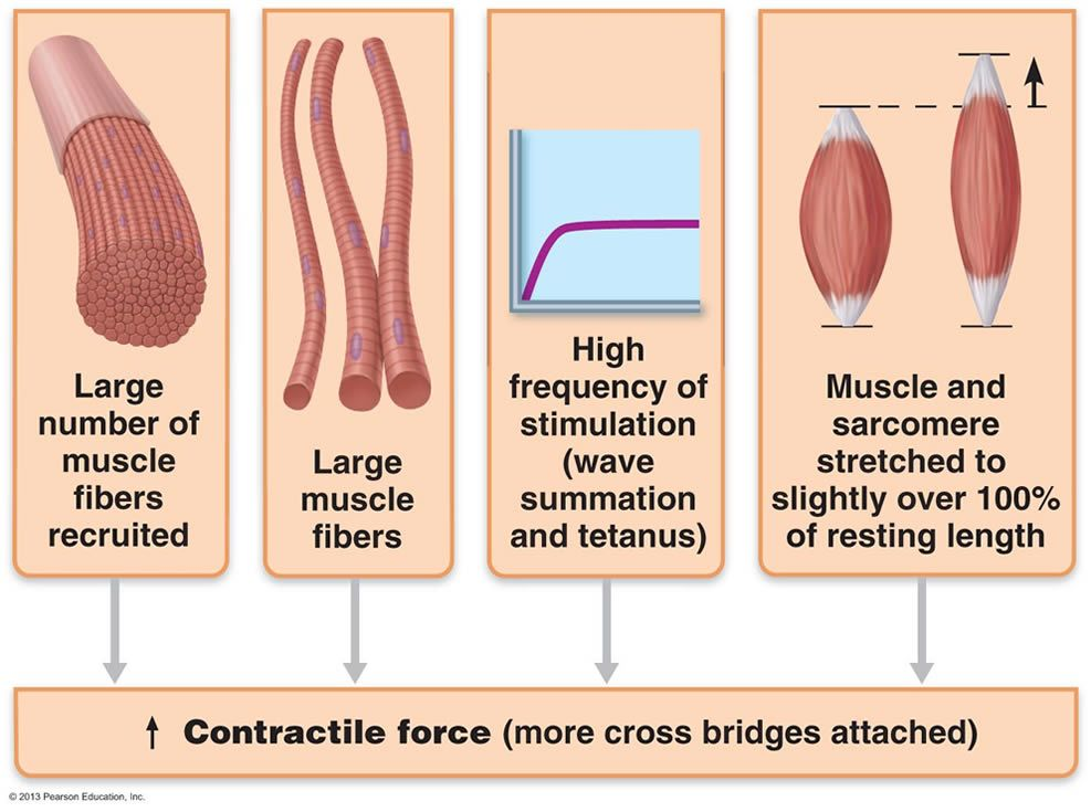 Chapter 9 Muscles And Muscles Tissue Human Anatomy And Physiology Muscle Exercise Physiology