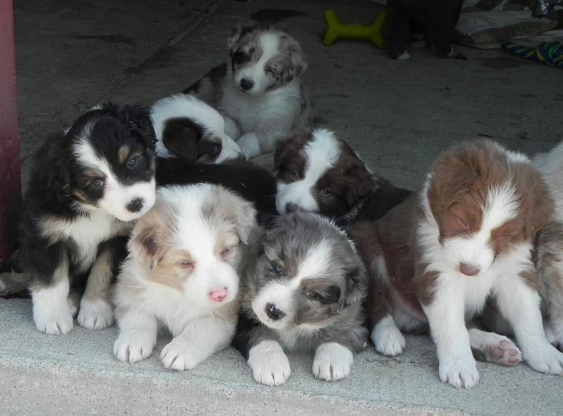 6 Week Old Australian Shepherd Puppies Available At Www Skyblueaussies Com Australian Shepherd Puppies Aussie Puppies Shepherd Puppies