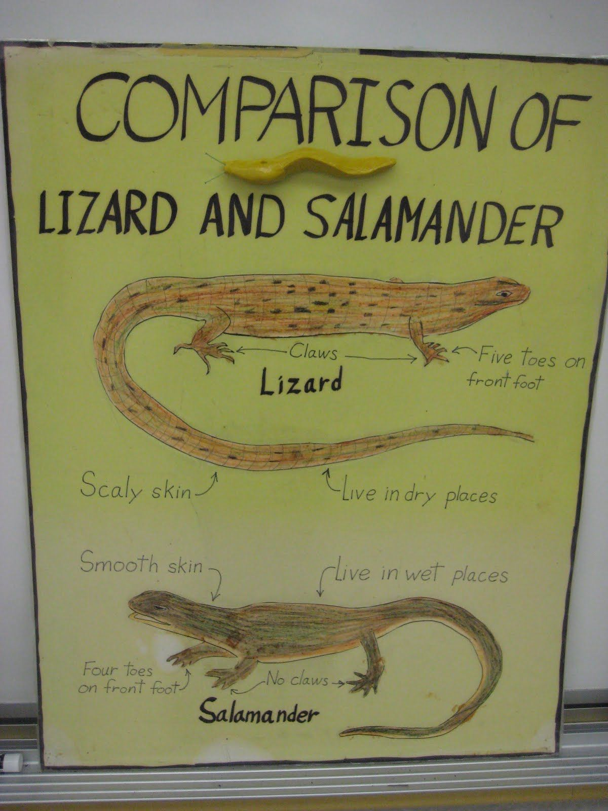 Salamander Vs Lizard Did You Know With Images