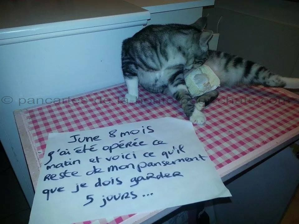 « June 8 months. I had a surgery and that it what it's remains from the bandage I have to keep 5 days… » #lolcats #shameyourpet #shameyourcat #cat #cats #chats