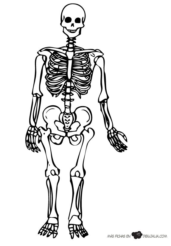 Esqueleto humano para colorear e identificar sus partes. | sistema oseo