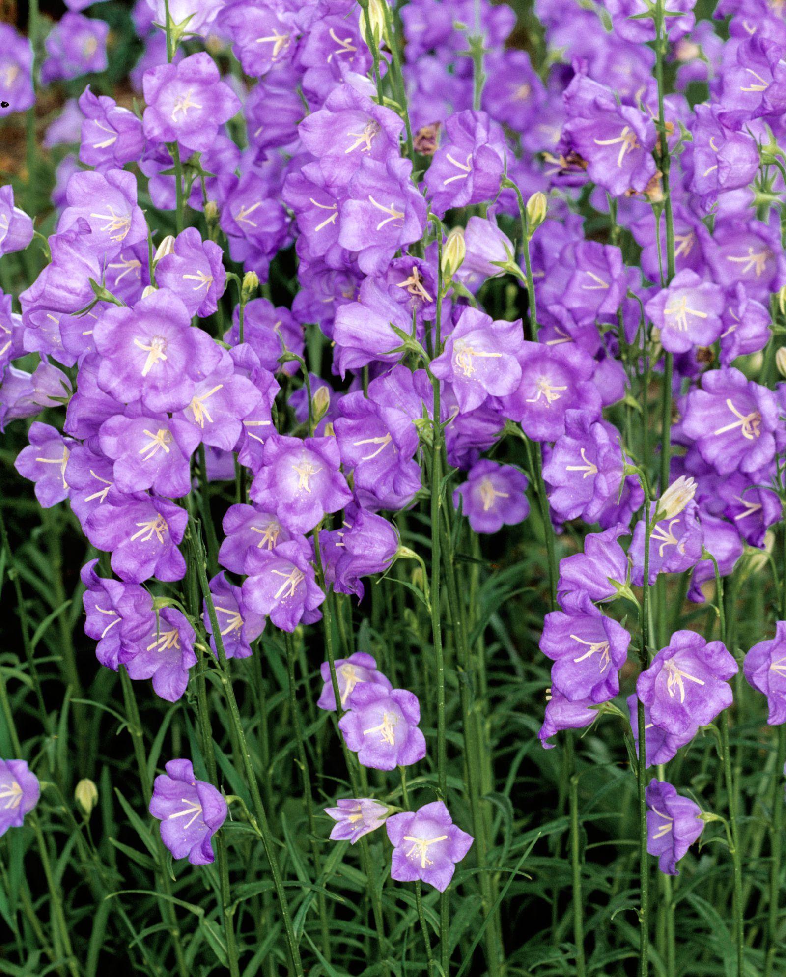 7 Perennials That Will Bloom Multiple Times This Summer Flowers Perennials Plants Perennials