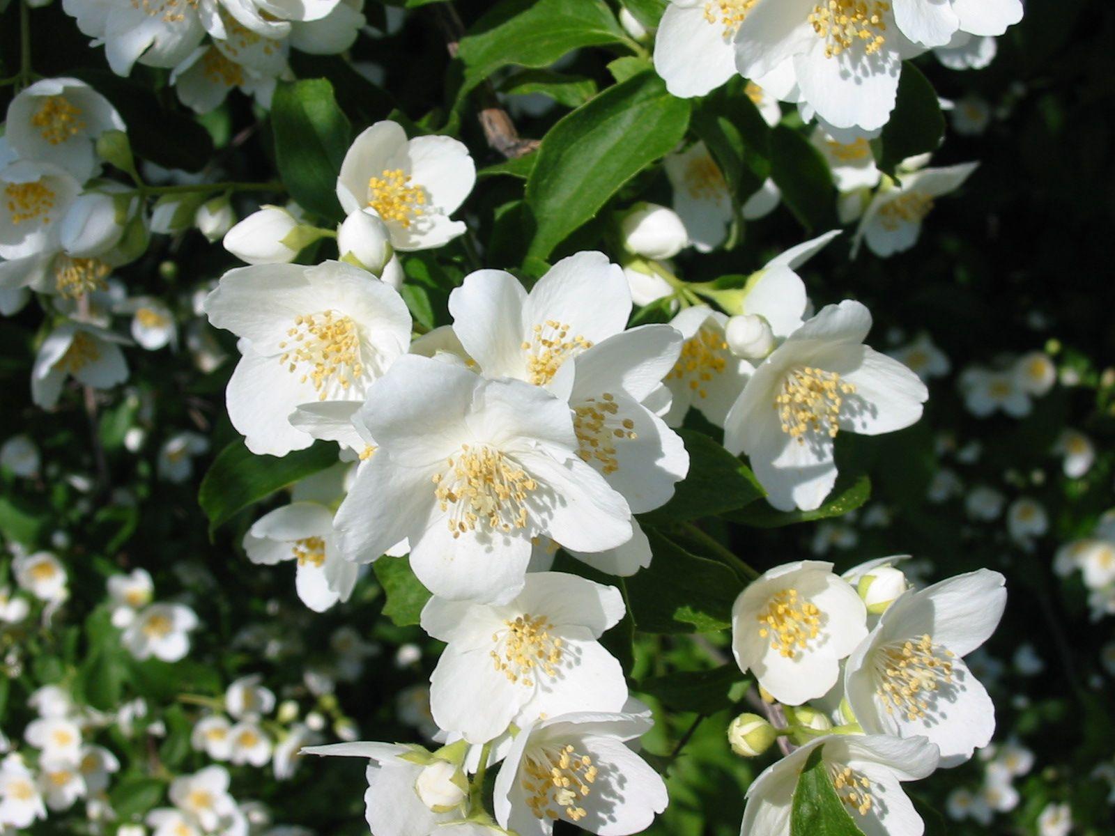 Jasmine flower romantic flowers jasmine flowers lovely flowers wild food and recipes uk any flower syrup recipes mightylinksfo