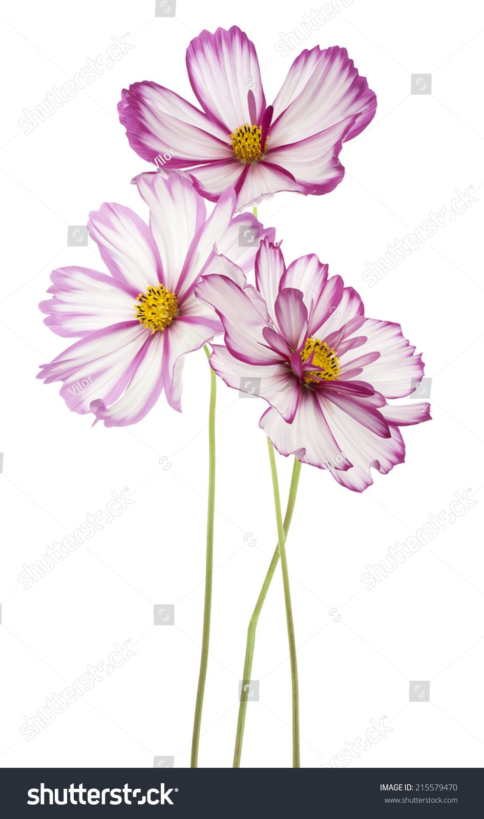 Studio Shot Of Fuchsia Colored Cosmos Flowers Isolated On White Background Large Depth Of Field Dof Loose Watercolor Flowers Cosmos Flowers Flower Drawing