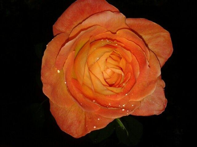 Rosa sota la pluja