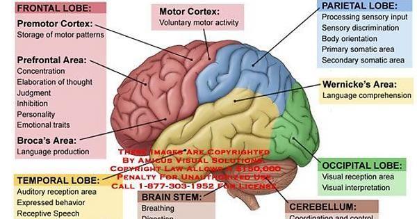imgur.com | Brain anatomy and function, Brain anatomy ...