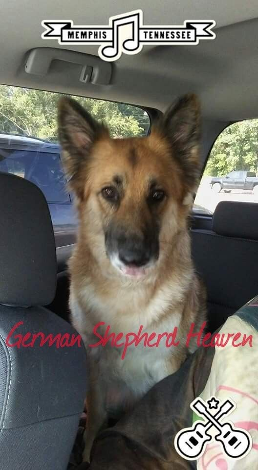 There Is Nothing Like German Shepherd Heaven German Shepherd Akc German Shepherd Shepherd