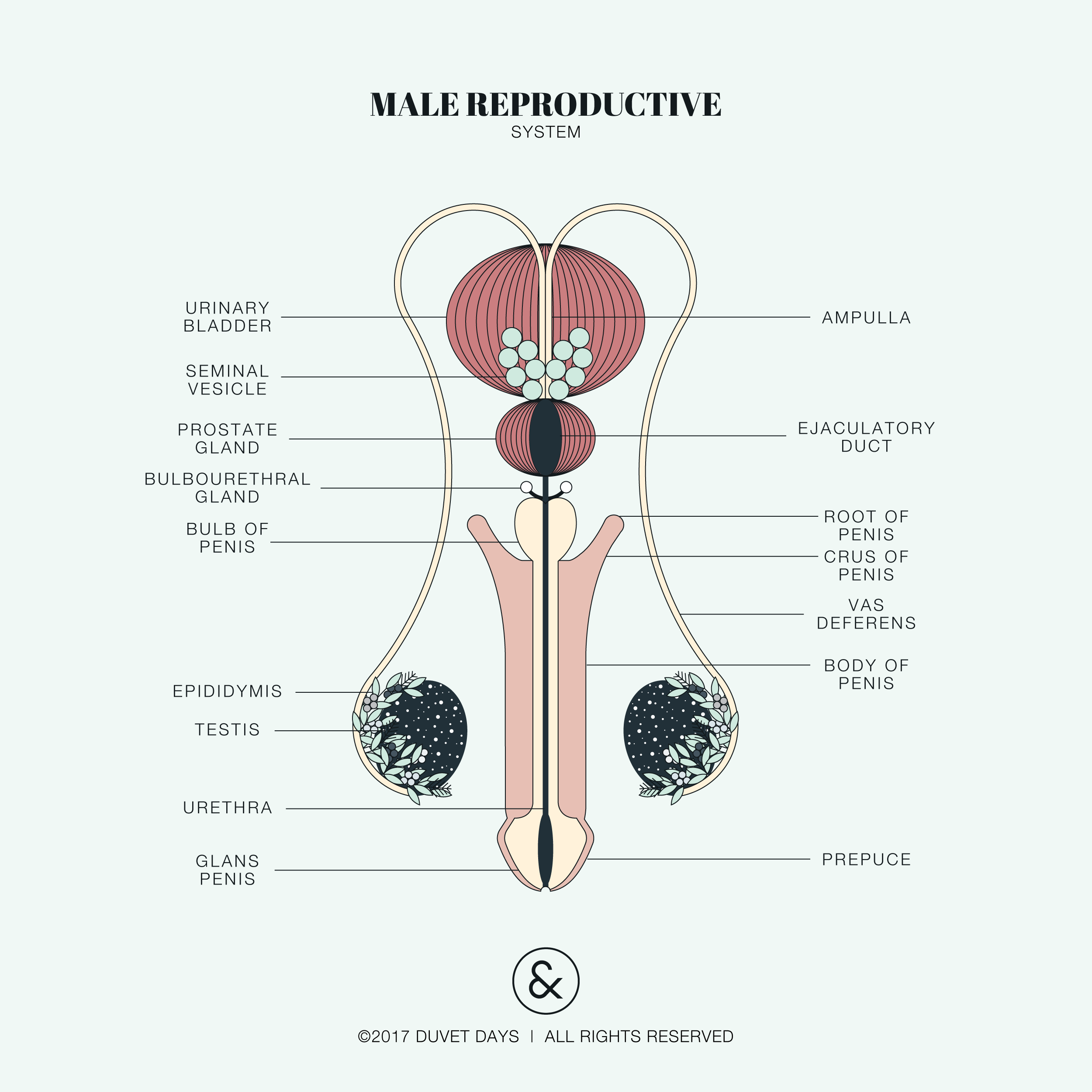 Male reproductive illustration. Please email hello@duvetdays.org for ...