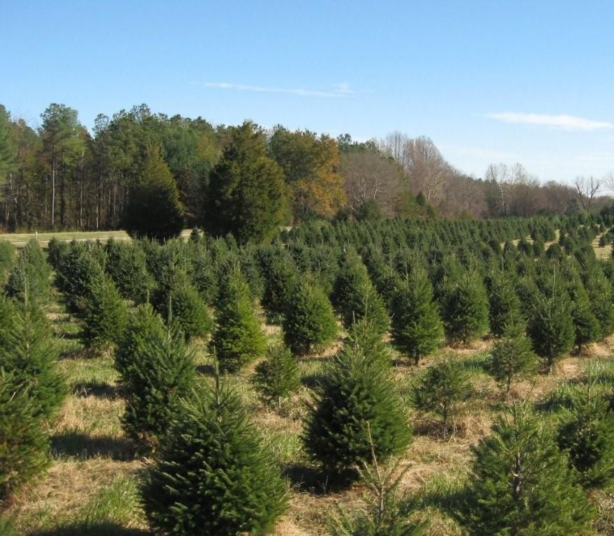 Claybrooke Tree Farm In Mineral Virginia The Real Christmas Tree Experience Christmas Charlottesville Tree Farms Christmas Tree Farm Real Christmas Tree