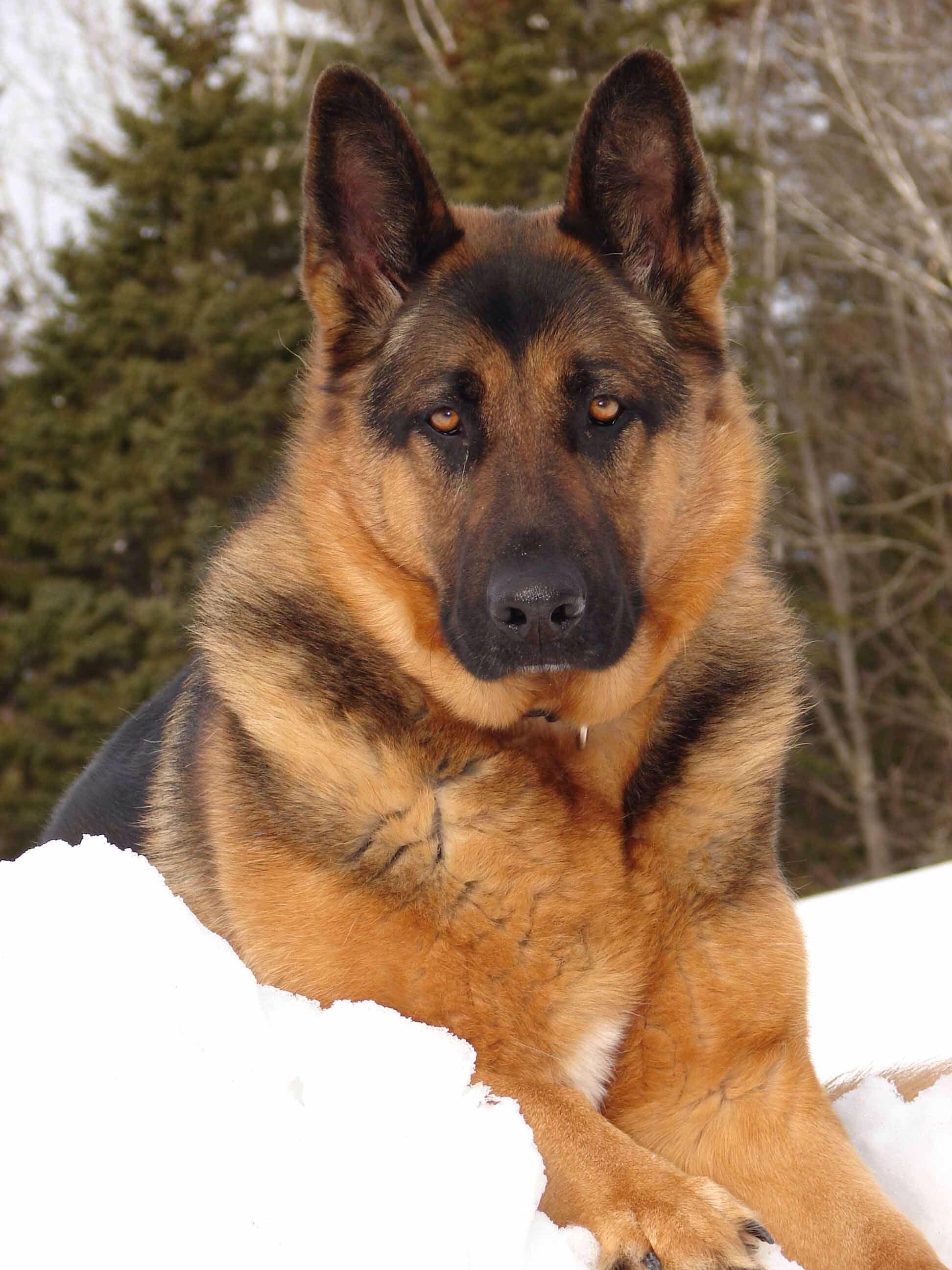 Pin on German shepherd dog