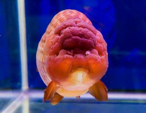 Pin de raza per en agua dulce aquarium fish freshwater for Criadero de peces goldfish