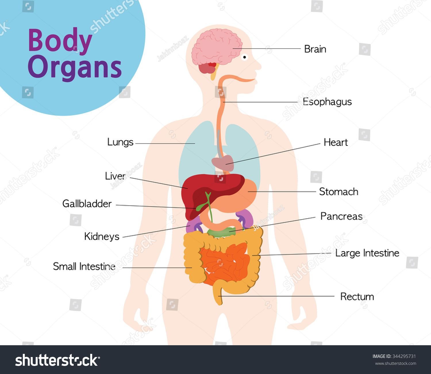 Pictures Of Organs In The Body Human Anatomy Organs Body Organs