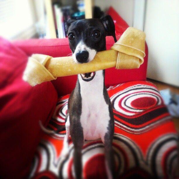 Resultado de imagen para italian greyhound chewing