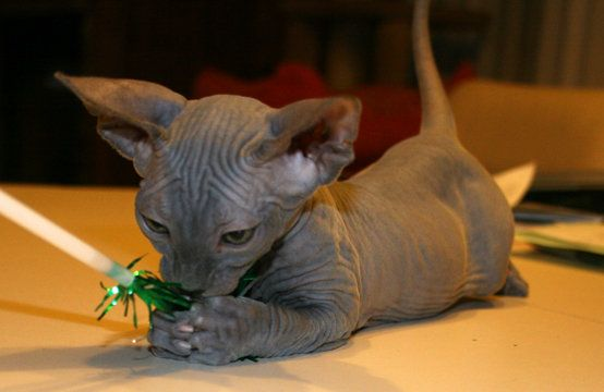 Pin By Joye Henderson Reynolds On Animals With Images Sphynx Cat Sphynx Pretty Cats