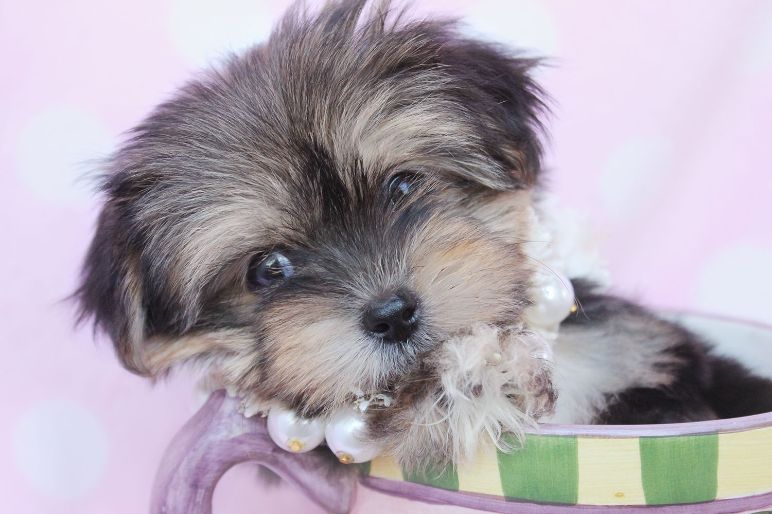 Teacup Yorkie by TeaCups, Puppies & Boutique! Yorkie