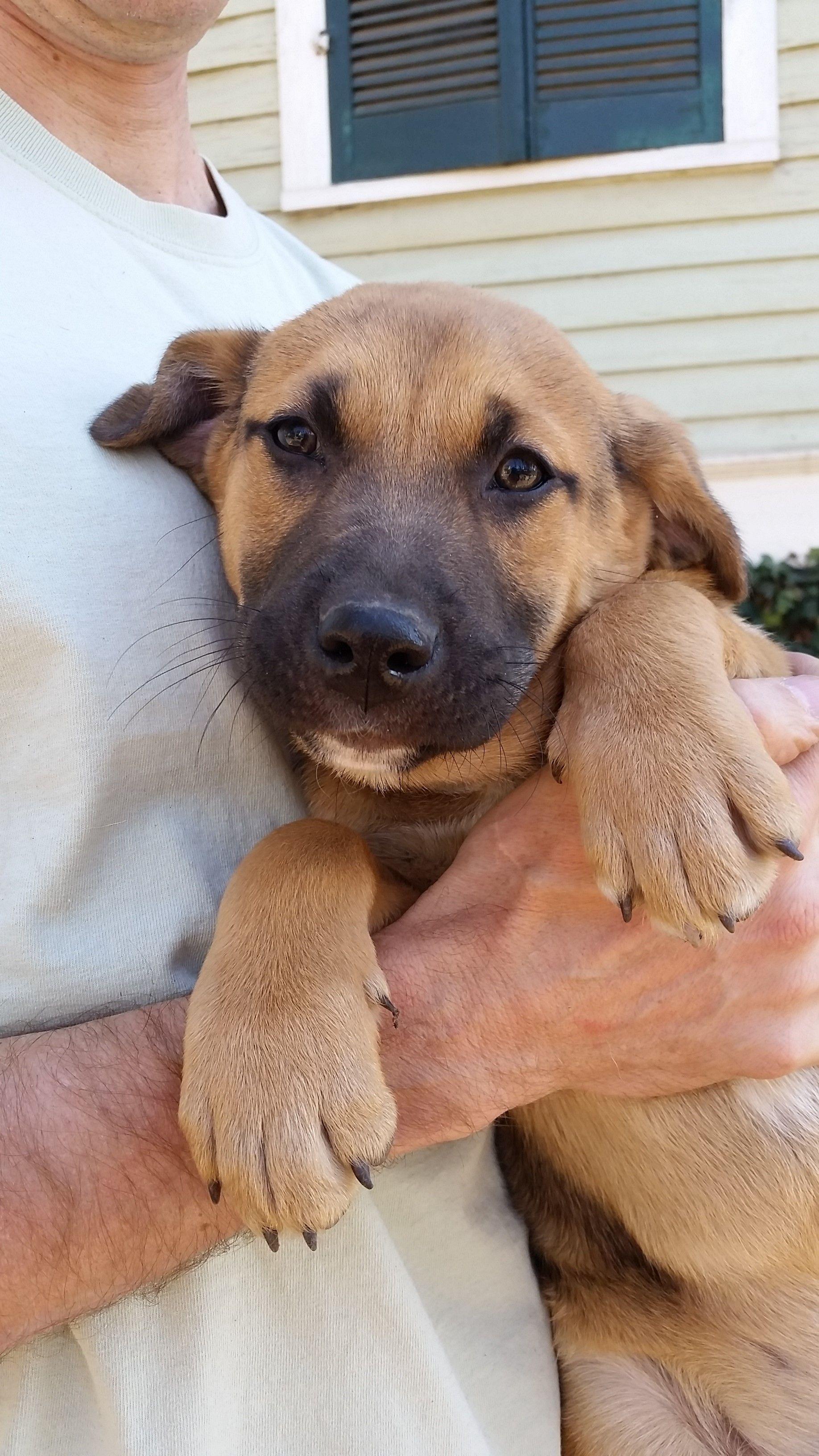 Adopt Marley pending on Dogs, Labrador retriever mix