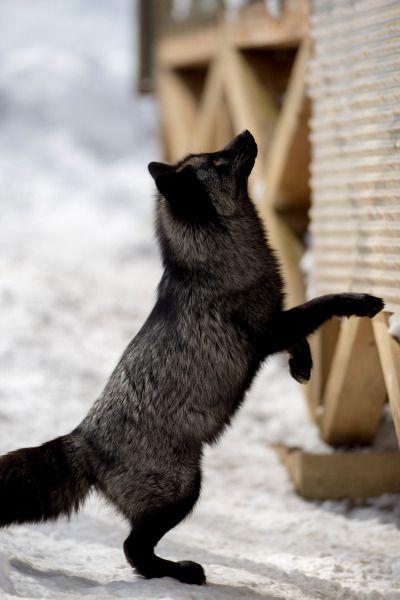 Silver Fox, Zao Fox Village in Japan | OVOPACK - Ryota Murayama
