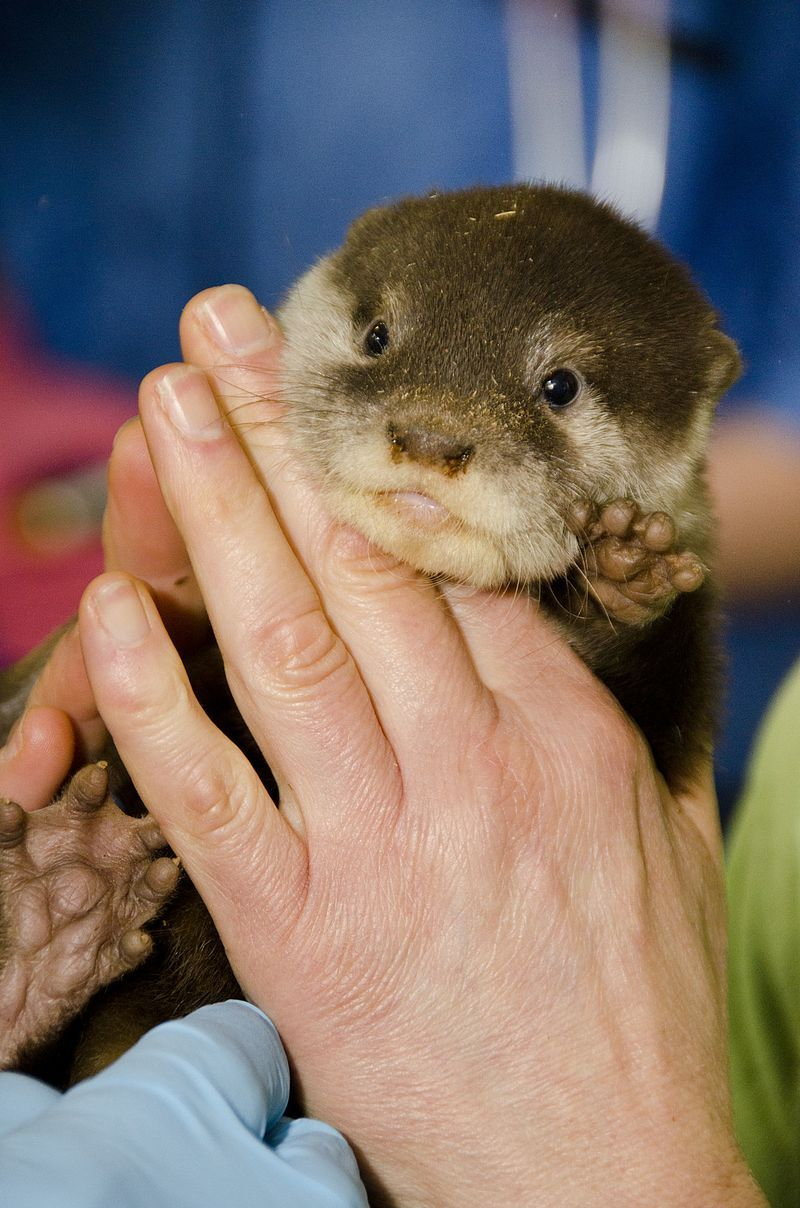 First Check Up For Otter Pups At Woodland Park Zoo Baby Animals Animals Beautiful Animals Wild