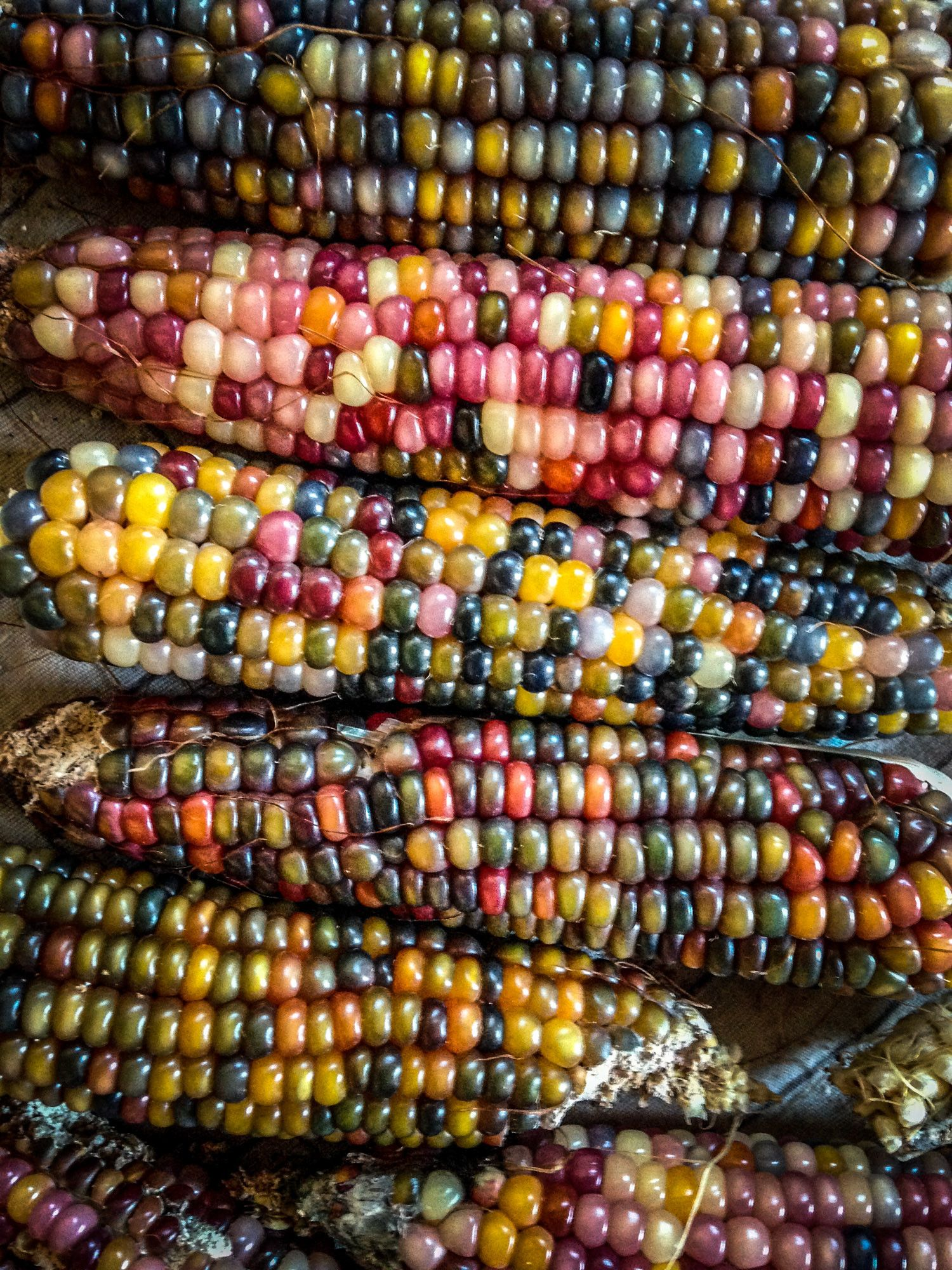 Glass Gem Corn (Zea mays) produces highly variegated, three to eight inch cobs with translucent kernels that can be used for grinding or merely staring at and marveling at the immense diversity of the