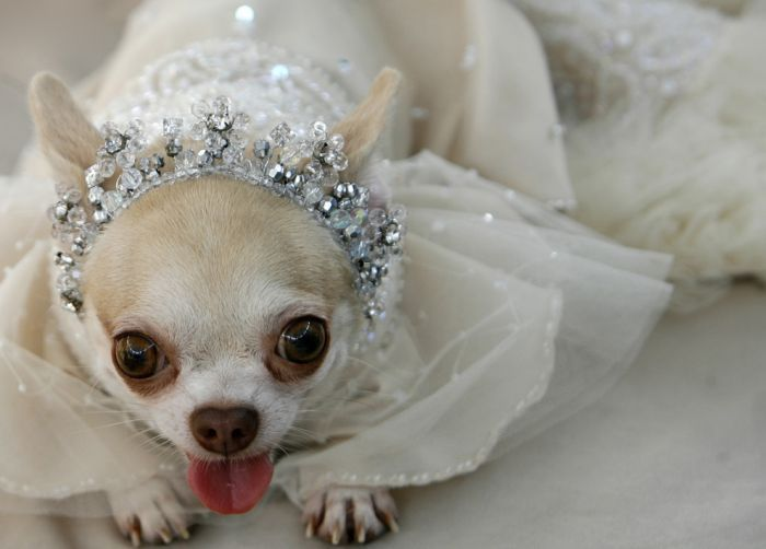 Here Comes The Bride All Dressed In White Dressed Up Dogs
