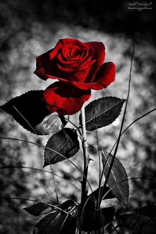 Red Rose Dark Romance Pinterest Red Roses Red And Rose