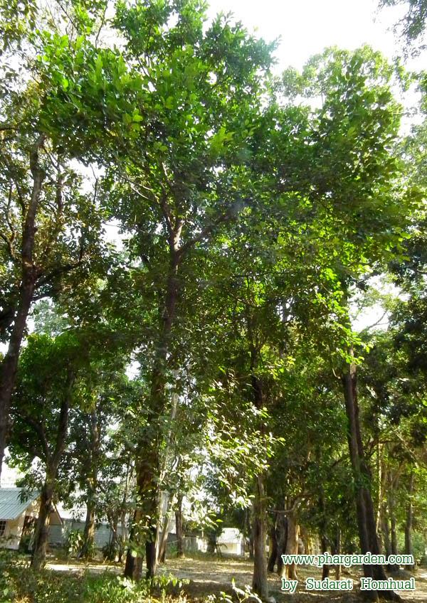 มะหาด ช ออ นๆ หาด ท วไป มะหาดใบใหญ ตร ง หาดขน น ปวกหาด เหน อ ขน นป า ช อว ทยาศาสตร Artocarpus Lakoocha Roxb N ช อวงศ Morac คณะเภส ชศาสตร สวนคร ว