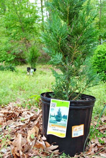 Planting A Few Leyland Cypress Trees For Added Privacy Yards Gardens And Landscaping