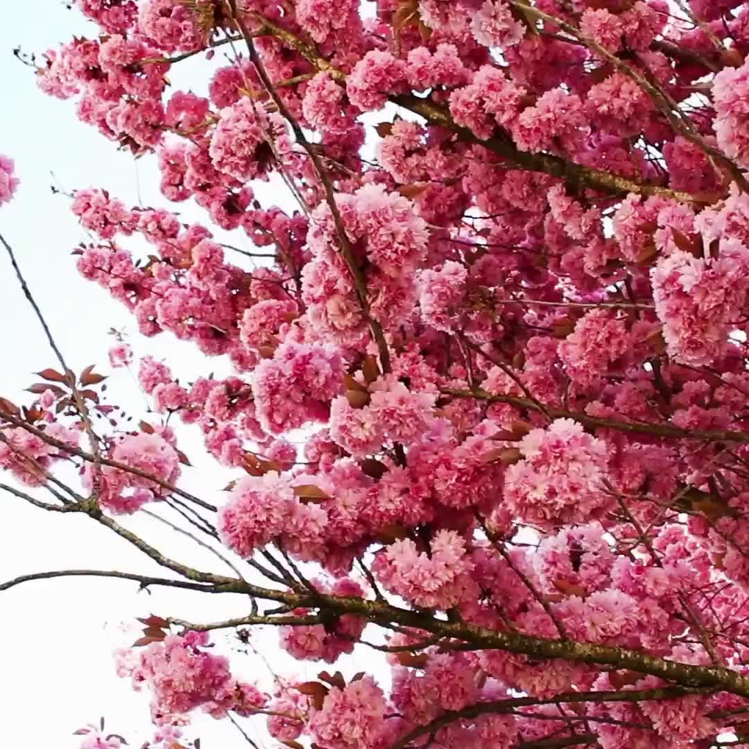 Labour Weekend 2020 I Think I Will Be Gardening And Relaxing With Friends What Are You Doing Video Japanese Cherry Tree Modern Flower Arrangements Flowers