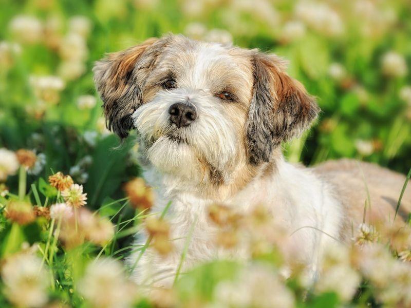 Der Bolonka Zwetna: Kleiner Hund, großes Herz! - Seite 4
