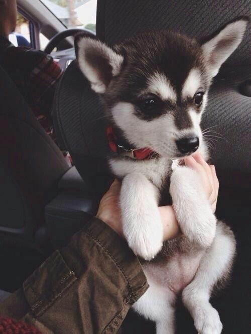 Siberian Husky Chihuahua mix? Adorable.