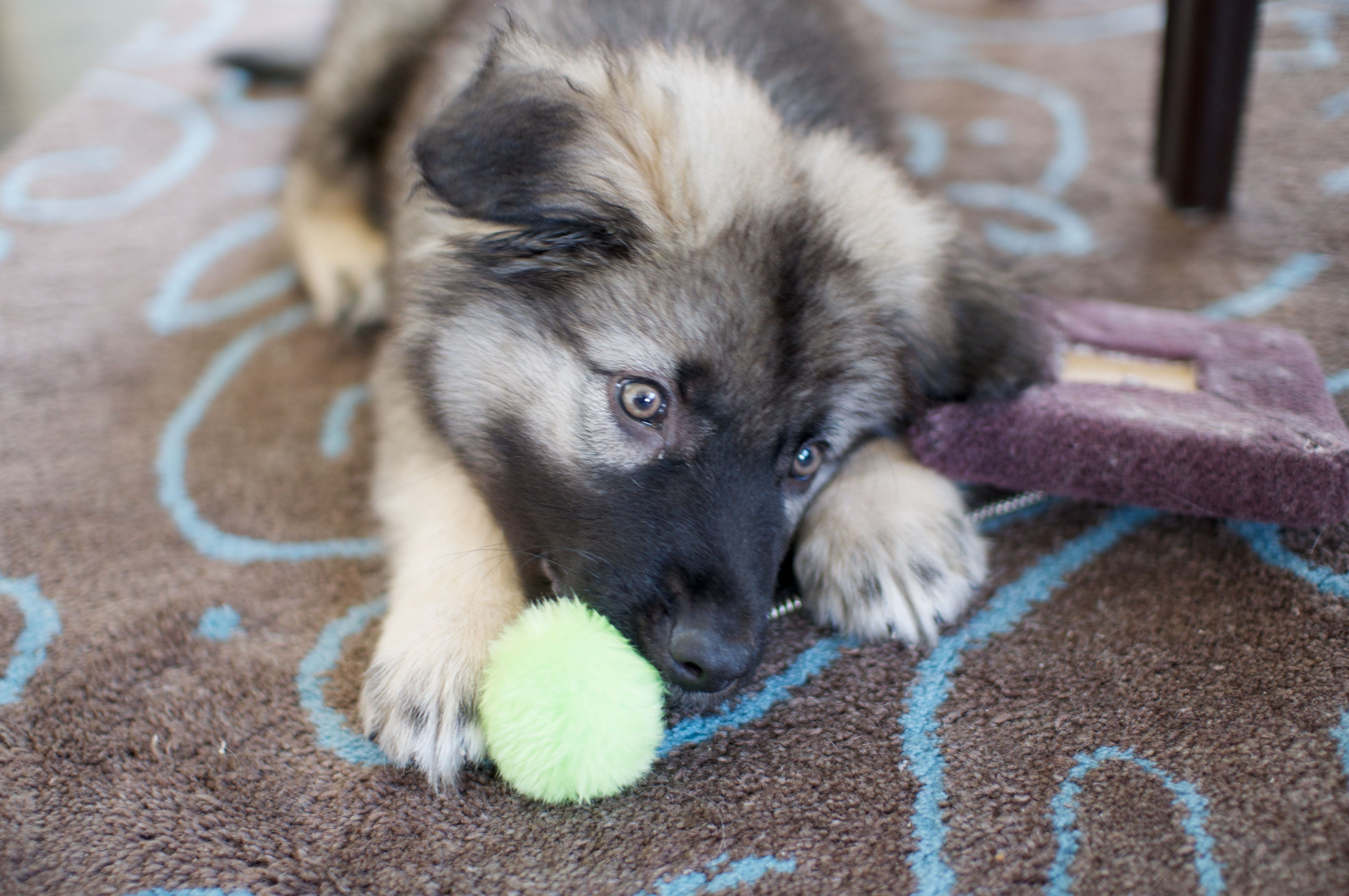 American Alsatian Puppy With A Toy With Images American Alsatian Alsatian Puppy Puppies For Sale