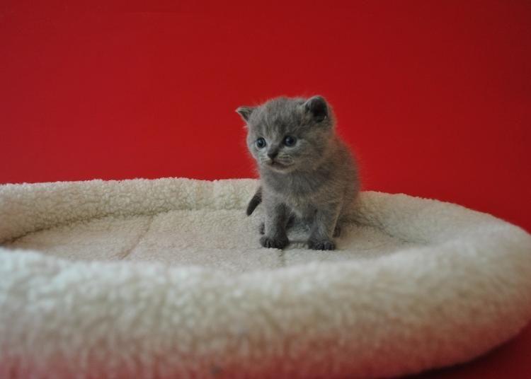 BKH Babys Kurzhaar katzen, Katzen kaufen