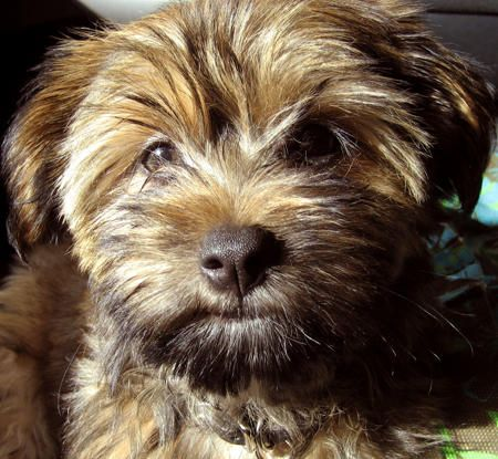 Harley The Silky Terrier Shih Tzu Mix Silky Terrier Puppies Dogs