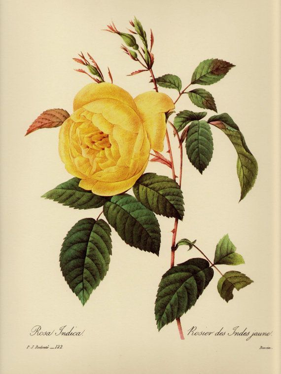 Vintage Redoute Yellow Rose Print Flower Art Classic Southern Decor ...