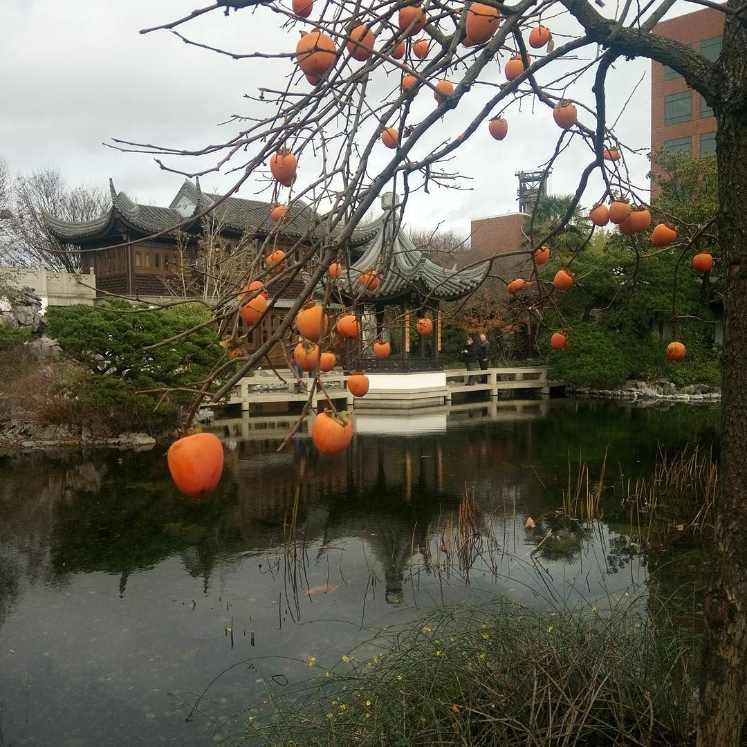 persimmon tree at the lan su chinese garden portland winter at
