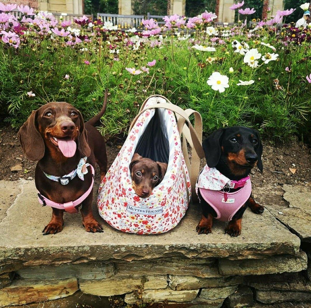 Dachshund Family Dachshund Dachshund Love Dachshund Puppies