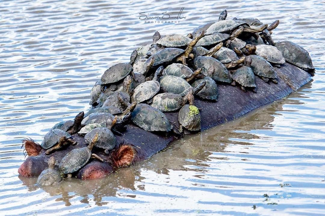 Hippo Raft // A large clan of turtles using a hippo to sunbathe