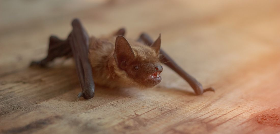 Bat In Your House Here S How To Get It Out Bat Simply Spray
