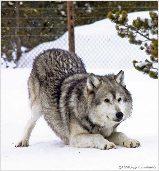 Playful Wolf Grey Wolf Wolf Wolf Husky