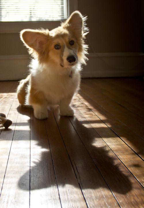 I Want Him So Bad He S So Freaking Cute Corgi Corgi Dog Cute Animals