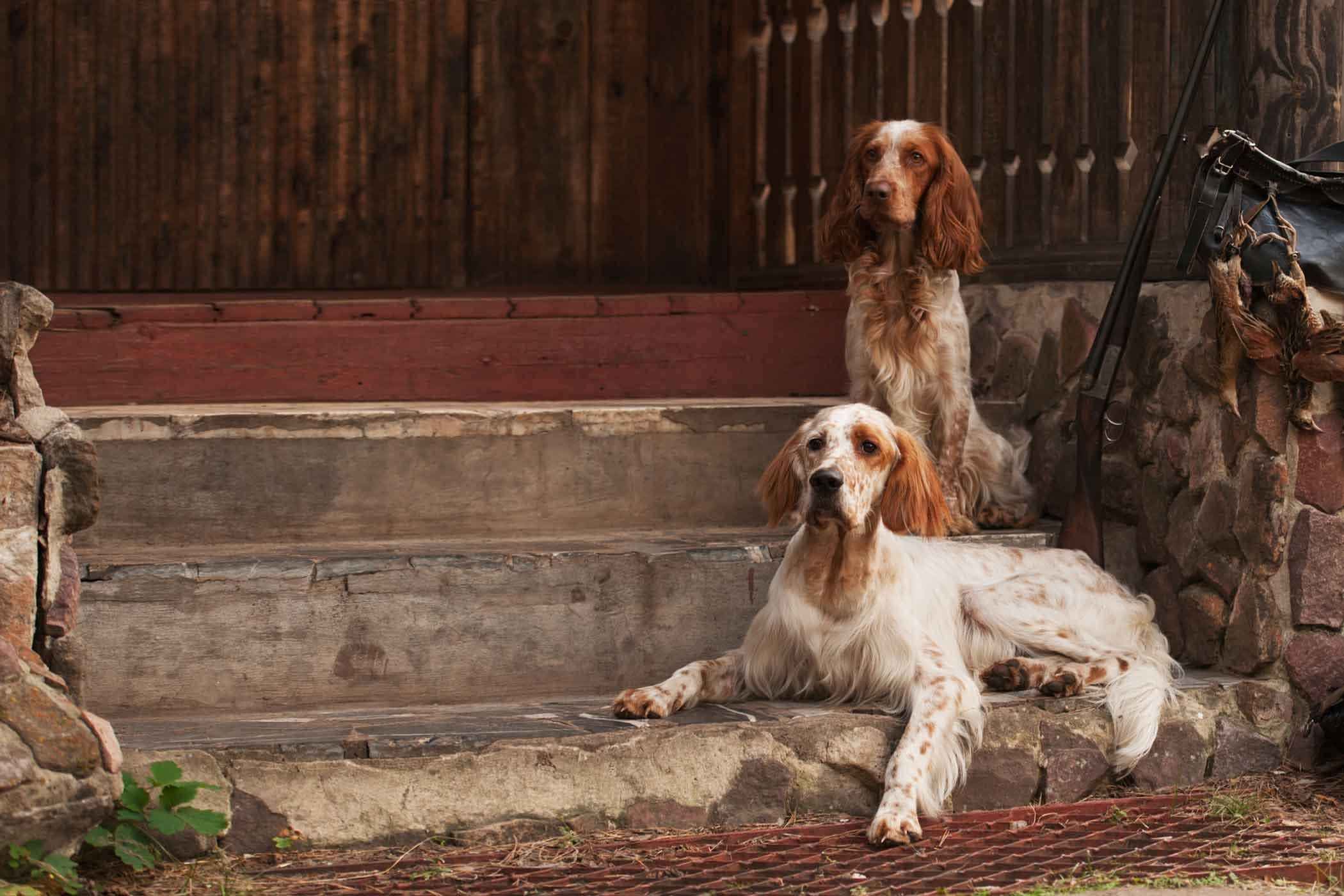 How To Train Your Older Dog To Bird Hunt Dogs How To Train Your