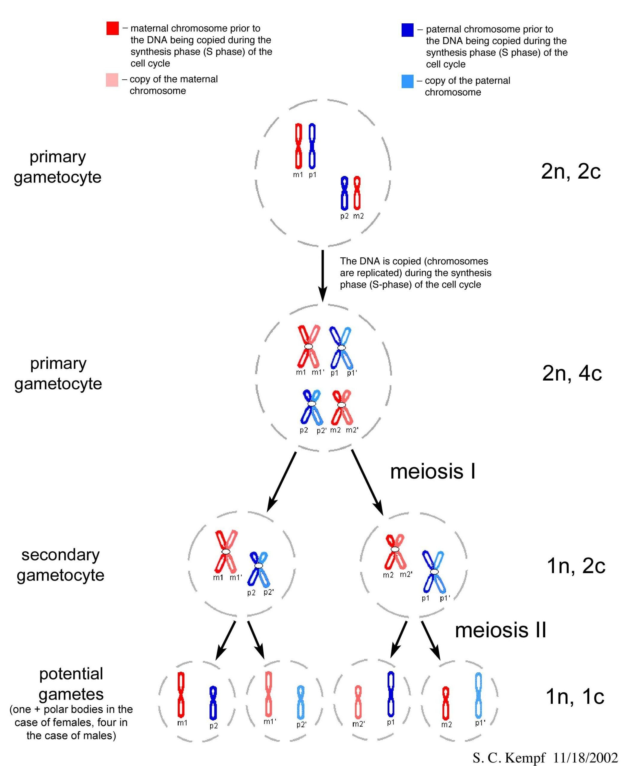 Mitosis Meiosis Comparison Worksheet Mitosis And Meiosis