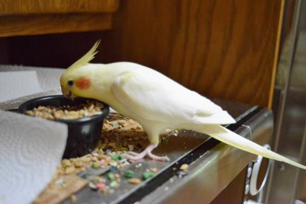 Next Favorite This Post Missing Yellow Cockatiel Madison Hide This Posting Image 1 Of 5 C Craigslist Map Data C Op Cockatiel Losing Her Lost Found