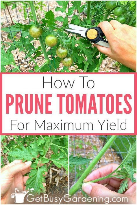 How To Prune Tomatoes For Maximum Production is part of Tomato pruning, Tomato garden, Veggie garden, Veg garden, Garden veggies, Vegetable garden - Pruning tomatoes is important to keep the plants healthy, and to maximize fruit production  Learn exactly when and how to trim tomato plants, stepbystep