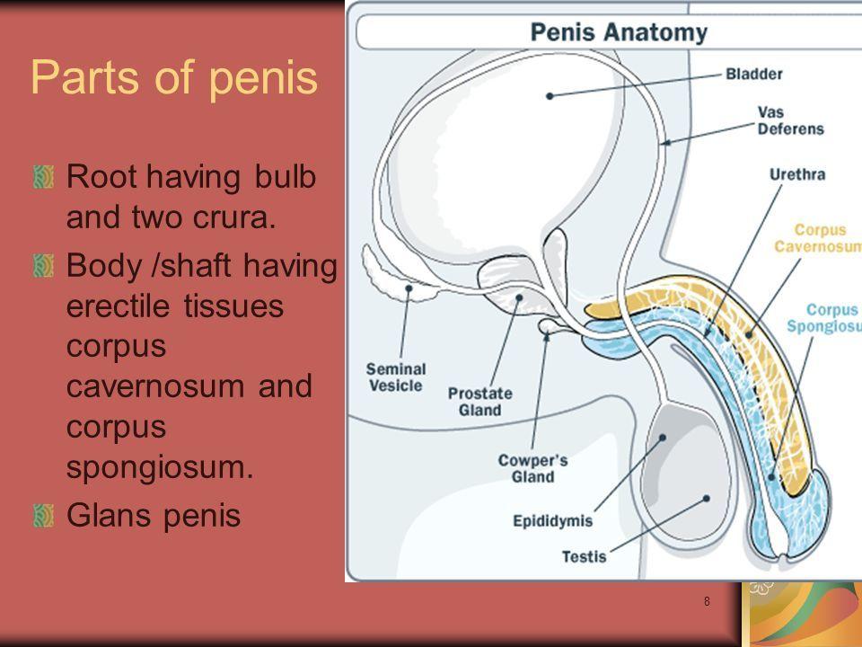 penisens fysiologi