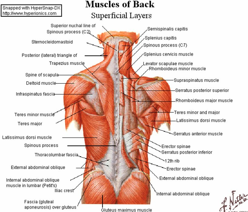Muscle Anatomy Of The Back Pta Pinterest Upper Body Exercises