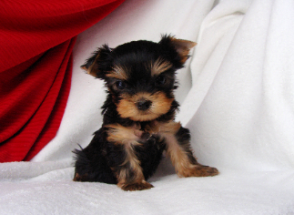 Available Yorkie Puppies Yorkie Puppies For Sale In Indiana Yorkie Puppy For Sale Yorkie Puppy Puppies For Sale